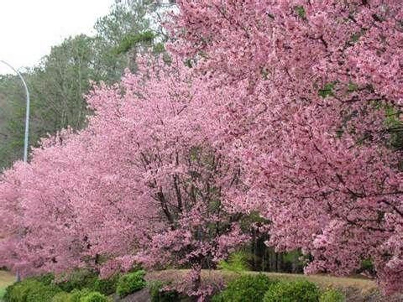 Cherry Trees in the field