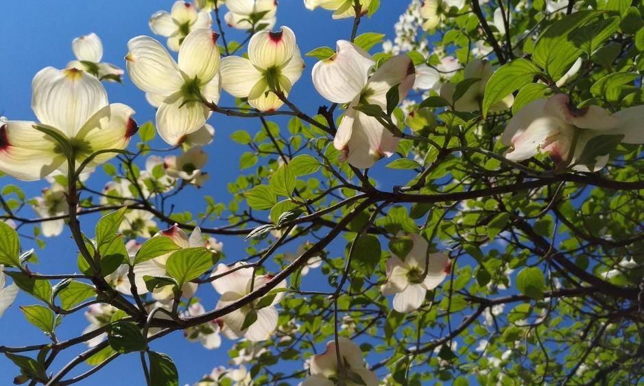 Dogwood Trees NC native tree
